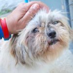 UPDATE:  Perla is safe.  Perla is scheduled to be killed on Oct. 2, 2106.  Manhattan Center\r\n\r\nMy name is PERLA. My Animal ID # is A1085770.\r\nI am a female tan and white shih tzu mix. The