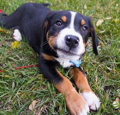 Greater Swiss Mountain Dog..with an attitude :)