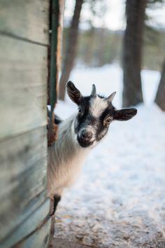 peek a boo! Farm Animals, Animals And Pets, Cute Animals, Wild Animals, Beautiful Creatures, Animals Beautiful, Cute Goats, Peek A Boo, Goat Farming