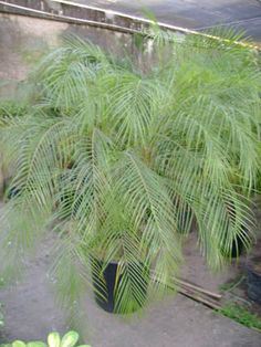 The Pygmy Date Palm (Phoenix roebelenii) grows slowly to a height of about six feet. It's great at removing xylene from the air - a chemical emitted by caulking, adhesives, floor coverings, wall coverings, paints and particle board. It should be maintained above fifty degrees. Photo: Dinda Plantas/Flickr