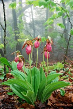 Lady Slipper Orchid  รองเท้านารี (Cypripedium acaule) They say these beautiful…