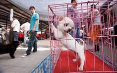 China dog meat festival targeted by activists:  A festival dedicated to dog meat in southern China has been targeted by protesting animal lovers, who have won a minor concession from local officials, an activist said.