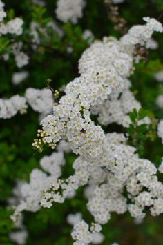 Spiraea is a great choice for a white spring bloomer. It conveniently blooms at the same time as tall white iris and midsize white peonies. Combine these three plants for an easy-care, high-impact white garden.