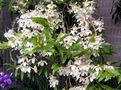 Dendrobium signatum 黃喉石斛