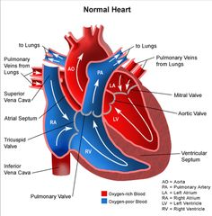 External anatomy of heart cardiac pinterest heart anatomy how to explain hypoplastic left heart syndrome hlhs ccuart Gallery