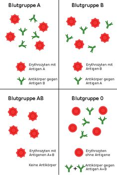 Blutgruppe – Wikipedia - New Ideas Blood Groups, Medical Symbols, Medical Anatomy, School Notes, Physiology, Biology, Good To Know, Sephora, About Me Blog