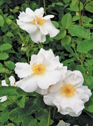 Cole's Settlement  1998  Coles Settlement is a large six foot shrub that exhibits single white flowers that can reach four inches across in cool weather. Flowers are followed by large orange hips in the fall. This is a wonderful rose to plant where you can enjoy its reflective flowers at dusk or on moonlit evenings. Coles Settlement was one of the earliest communities in Independence, TX. (circa 1820).  4 to 6 feet