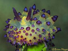 Janolus species nudibranch