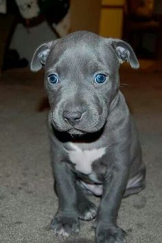 Omg. Looks like my male pit (3yrs old) that just passed away. Gimme gimme gimme!!