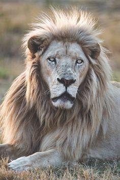 Lion. ~ETS #gorgeouscreatures