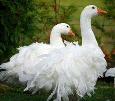 Sebastopol Geese
