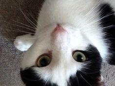 Henry - Cat - The Mayhew Animal Home