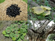Medicinal Rice Formulations for Diabetes Complications, Heart and Kidney Diseases (TH Group-75) from Pankaj Oudhia's Medicinal Plant Database