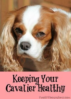 Dog Care - Keeping Your Cavalier Healthy - Two Little Cavaliers