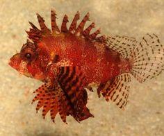 lion fish underwater life HD Wallpaper - Aquarium