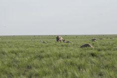 De steppe van Kazachstan ligt bezaaid met kadavers. Er wordt gevreesd voor het uitsterven van de soort omdat er maar liefst 1/3 van de dieren is bezweken aan deze ziekte.