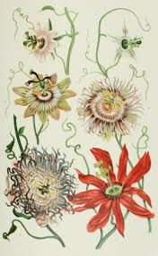 Best calming herbs for natural treatment of anxiety; herbal remedies for anxiety; learn about 3 best herbs for anxiety: passion flower; Best Herbs For Anxiety, Anti Anxiety Herbs, Antique Illustration, Botanical Illustration, Herbs For Depression, Harvest Season, Passion Flower, Medicinal Plants, Botanical Prints