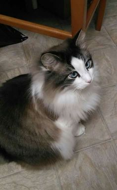 Half Maine Coon ,half Siamese. - Tap the link now to see all of our cool cat collections!