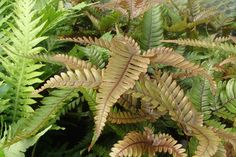 Pteris quadriaurita 'Tricolor', or Painted Brake Fern - a lovely evergreen fern for growing indoors in a shady spot. The neatly cut glossy fronds emerge a glowing red before changing to green as they mature