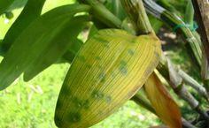 Veja alguns tipos de estresses que a orquídea pode passar que podem deixar suas folhas amarelas. São várias as possíveis cores das folhas de uma orquídea.