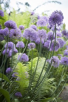 Allium the focus in a bed of Ferns.