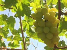 Tomomien farm #grape #muscat
