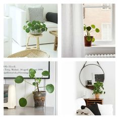 Artikel, Plants for your Interior, Pilea Peperomioides