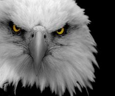 All types of eagle birds in the world with amazing facts. Bald eagles are symbol of American. They are at the top of the food chain, with some species feeding on big prey like monkeys and sloths. The Eagles, Bald Eagles, Eagles Live, Eagles Team, Beautiful Birds, Animals Beautiful, Rapace Diurne, Regard Animal, Eagle Face