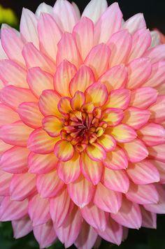 Pink and yellow dahlia flower Beautiful Flowers Garden, Exotic Flowers, Fresh Flowers, Pretty Flowers, Lilies Flowers, Dahlia Flowers, Cactus Flower, Tropical Flowers, Purple Flowers