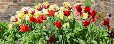 Tremendous Tulips growing at Perch Hill, Sussex