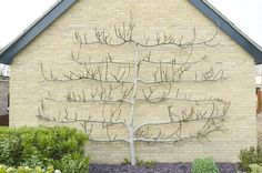 I never thought of doing this with figs. Train your tree: Why figs are a good choice to espalier // SOCAL GARDEN CLINIC