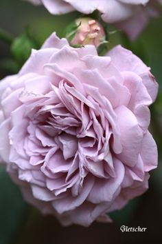'Gletscher' ~ Rose, pale mauve