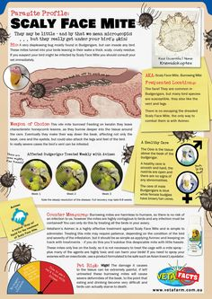 They may be little - and by that we mean microscopic!...but they really get under your bird's skin! Scaly Face Mite is a very displeasing bug and if left untreated the mites will cause deformities in the beak that can result in death by starvation. Read our factsheet on how to combat these mites! For more information visit our website or contact the team. #Vetafacts #ParasiteProfile #ScalyFace #Mite #Vetafarm