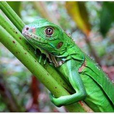 Green iguana, Iguana iguana    #iguana #reptiles #animals #wildlife #wildlifephotography #appreciate #conservation #osaconservation #lizards #osa #puravida #costarica #DANTA