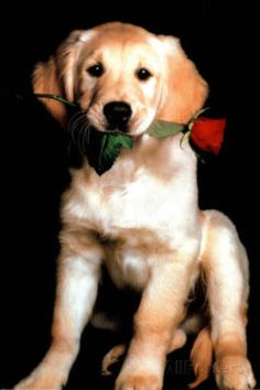 Golden Retriever with Red Rose Art Print Poster Posters at AllPosters.com