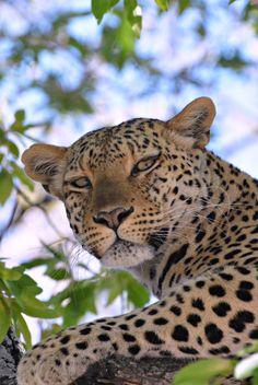 Botswana leopard (Wil 4559)