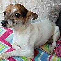 London Kentucky Rat Terrier Meet Newton A For Adoption Https