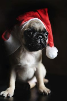 Santa Pug ♥ Clean pug! Pug Love dog doggie puppy boy girl black fawn funny fat outfit costume