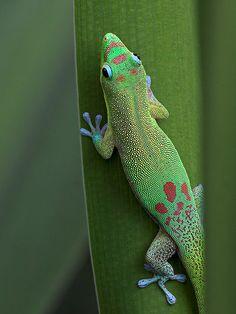 The gold dust day gecko (Phelsuma laticauda (Boettger, 1880)) is a diurnal species .