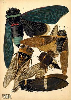 1. Tacua speciosa. Indes; 2. Polyneura ducalis. Indes Or.; 3. Cicada saccata. Australie; 4. Cicada fascialis. Siam; 5. Tozena melanoptera. Indes Or.   - E.A. Séguy