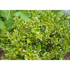 Proven Winners 3 Gal. Wedding Ring Boxwood Buxus ColorChoice Evergreen-BUXPRC1013135 - The Home Depot