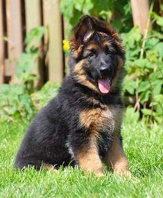 Oud Duitse Herder pup op jonge leeftijd