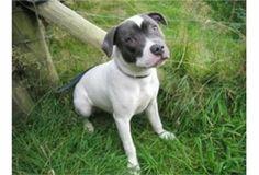 Staffordshire Bull Terrier #dogs #animal #bull #terrier