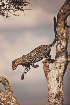 Si me tendría que reencarnar en un animal sería en un Jaguar o Tigre. Amo la libertad!