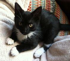 Cute tuxedo kitten!