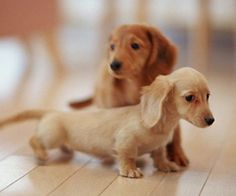 I will have a dachshund one day :)