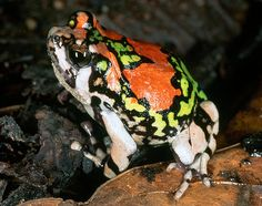 """""""The Malagasy rainbow frog (also known as the burrowing painted frog) is critically endangered and found only in the Isalo area. """" Madagascar Wildlife; www.bradtguides.com"""