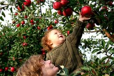 Child gets a boost to snag a ripe apple.
