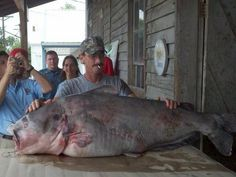 This world record blue catfish was caught with rod and reel in the Missouri River. It was reeled in at 57 inches long and a whopping 130 lbs. Big Catfish, Catfish Fishing, Fishing Lures, Carp Fishing, Saltwater Fishing, Fishing World, Best Fishing, Fishing Tips, Fishing Stuff