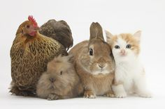 Partridge Pekin Bantam with Kitten, Sandy Netherland Dwarf-Cross and Baby Lionhead-Cross Rabbit